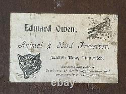 Antique Victorian Shoulder Mount FOX Taxidermy Estate Fresh Edward Owen UK